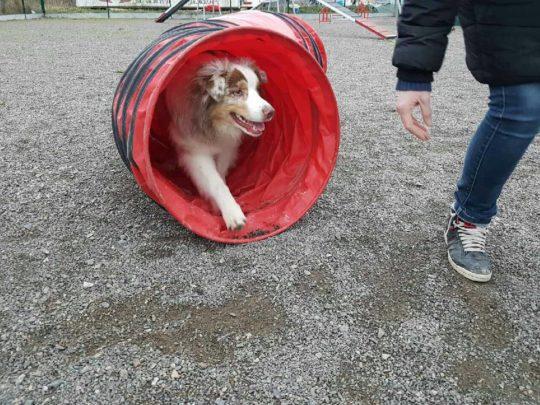 agility-chien